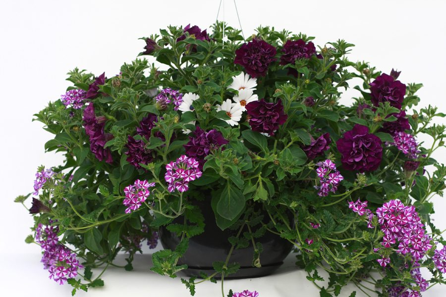 Hanging Baskets Amp Patio Pots